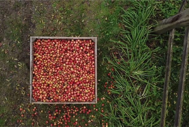 Padox lors de la récolte